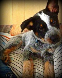 Cattle dog ;) probably the cutest and coolest looking dog ever! Luv the double mask!