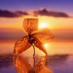 逆光,花瓣的纹路都可以看清楚,透着光芒。低视角,以一朵花的角度观察朝阳。重复,花朵本身与水中的倒影。