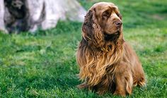 Sussex Spaniels are a rare breed. Learn all about Sussex Spaniel breeders, grooming, training, health, adoption, and more.