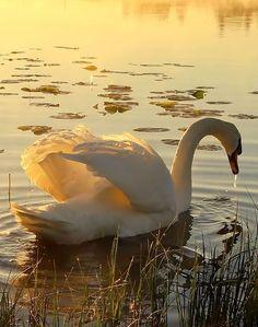 I love the way the sun light illuminates the swan's wings... <3. By Regina.