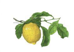 A lemon. Un limone. by ciuccio51, via Flickr