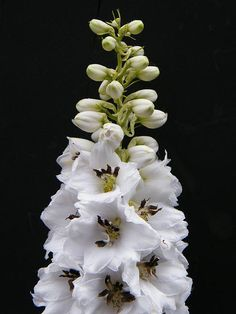 Graceful White Delphinium on Black by Mary Sedivy. Delphiniums are perennial favorites in the garden. We usually think of these stately flowers as purple or blue beauties, but occasionally a new and unexpected color comes along to brighten our summer. What a glorious surprise to see a pure white delphinium with black at its heart!