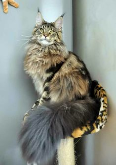 Interested in owning a Maine Coon cat and want to know more about them? We've made this site to tell you all you need to know about Maine Coon Cats as pets Pretty Cats, Beautiful Cats, Animals Beautiful, I Love Cats, Crazy Cats, Cute Cats, Kittens Cutest, Cats And Kittens, Gato Grande