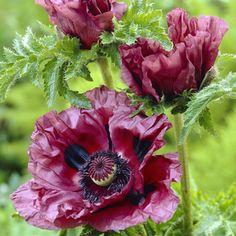 "Oosterse papaver ""Papaver orientale Patty's plum"" Pruimenkleur, zonnig 80 cm hoog, mei-juli vaste plant."