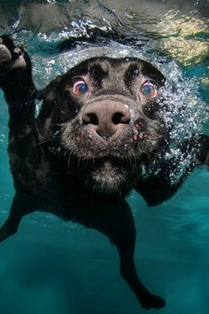 Black Labrador swimming in the water.