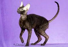 Cornish Rex, Kangaroo, Wallpaper, Cats, Animals, Baby Bjorn, Gatos, Animales, Animaux
