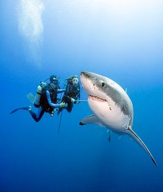 Divers Get Up Close To A Great White -- Without A Cage.....Marine Biology may be my major....but I will NOT do this!!