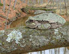 Gray Tree Frog Over Hasler Creek, 8 x 10, acrylic