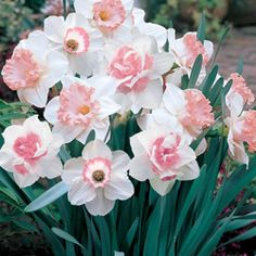 Pink daffodil mix: Perfectly pink! Lovely in beds and borders alike, this delightful mix of frilly, two-tone, and double-centered daffodils in soft, sweet coral-pink is a real treat. Each variety features unique color and form. Plant these charming pink blooms next to evergreen shrubbery and watch them pop!