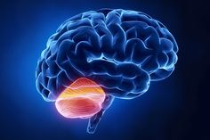 Stanford scientists find a previously unknown role for the cerebellum. Researchers long believed that the cerebellum did little more than process our senses and control our muscles. New techniques to study the most densely packed neurons in our brains reveal that it may do much more.