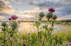 Thistles, taken from Shell bay, Fife at sunset. Blair Mchattie Photography