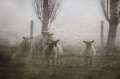 photo normandie nature foret mouton