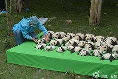 中国・成都でお披露目された23頭の子パンダが、尋常じゃなく可愛すぎるので見てください - Togetterまとめ