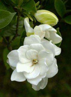 Gardenias