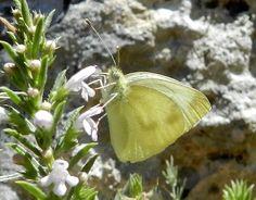 Pieris ergane (Geyer, [1828]) - le farfalle della Puglia