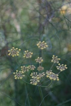 Sweet Fennel, Bronze Form Seeds £1.95 from Chiltern Seeds - Chiltern Seeds Secure Online Seed Catalogue and Shop