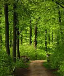 Danish beech forest.