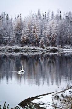 ♀ winter lake swan lake