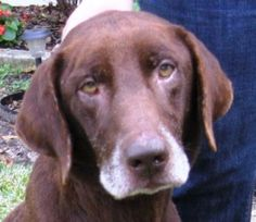 Elmo #2 is an adoptable Chocolate Labrador Retriever Dog in Killingworth, CT. Elmo (St. Elmo!) is a wonderful chocolate lab is between 7-9 years old but acts like a much younger boy. He is as sweet a...
