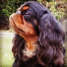 English Toy Spaniel English Toy Spaniel Dog Breed Information Source by baxter_beasley The post English Toy Spaniel Dog Breed Information appeared first on Gwen Howarth Dogs. Toy Dog Breeds, Akc Breeds, Small Dog Breeds, Small Dogs, Cavalier King Charles, King Charles Spaniel, Cocker Spaniel Mix, Spaniel Puppies, English Spaniel