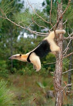 Southern Tamandua Hanging Off Tree By Tail Brazil