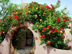 The beautiful and unique Joseph's Coat Climbing Rose