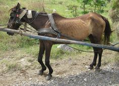 Call for help for Romanian working horses - heartbreaking to see an animal forced to work with these injuries and starvation Western Pleasure Horses, Tennessee Walking Horse, Bay Horse, Horse Rescue, Barrel Horse, All About Horses, Stop Animal Cruelty, Animal Protection, Horse Breeds