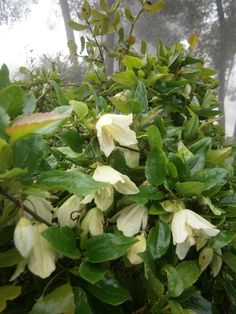 Wild Clematis is rare and only found in this creamy pale yellow color.