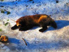 Matkojeni blogi: Aikamatka eiliseen ja pakkaseen, Kansankoti 24.02.2016 Black Bear, Brown Bear, Camera Obscura, Rocky Horror, Culture Travel, Gotham, Travel Photos, Animals, Animales