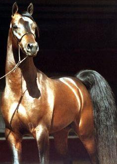 Arabian Horse (Stallion).