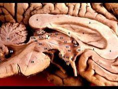 ACTIVAR LA GLÁNDULA PINEAL: FUNCIONAMIENTO Y EJERCICIOS PRACTICOS -  Activar la glándula pineal: En este videoprograma explicamos el funcionamiento de la glandula pineal y mostramos unos sencillos e...