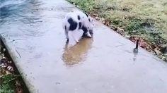 Piglet slipping on ice - GIF