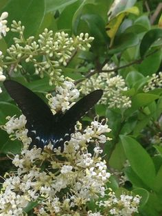 Butterfly on my Ligustrum