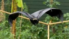 Comoro Black Flying Fox (Pteropus livingstonii) is the largest and rarest bat found in the Comores and is listed as Endangered.
