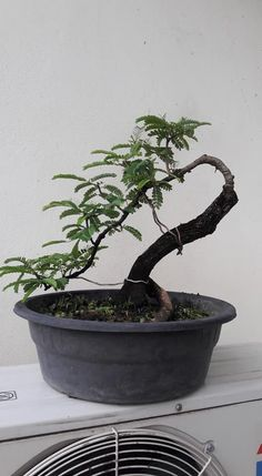 Jade Bonsai, Bonsai Wire, Bonsai Plants, Bonsai Garden, Garden Trees, Bonsai Tree Types, Plantas Bonsai, Miniature Trees, Tree Art