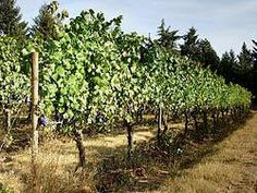 Biodynamic (organic) Pinot Noir Grape field- Cooper Mountain Vineyards in Beaverton, Oregon