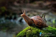 Snail with passenger by Nordin Seruyan