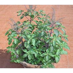 Holy Basil Heirloom Seeds Seeds Current Year Combined for sale online Tulasi Plant, Causes Of Heart Attack, Heart Blockage, Acute Coronary Syndrome, Cardiac Catheterization, Signs And Symptoms, Home Remedies, Basil, Seeds
