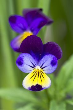Purple and Yellow Viola Flowers by Painted Light Studio (hardpan photo), via Flickr