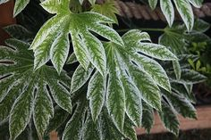 A new form with white-frosted foliage