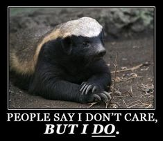 Image result for honey badger tara birthday Black Bear, Brown Bear, Honey Badger Humor, Like Animals, Funny Animals, Funny Photos, Best Funny Pictures, Baby Badger, Political Comedy