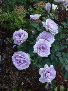 Blue Bayou rose (not generically modified) Most Beautiful Flowers, Rare Flowers, Cut Flowers, Lavender Roses, Blue Roses, English Rose Tattoos, Blossom Garden, Types Of Roses, Rose Applique