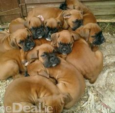 Image result for pile of bullmastiff puppies