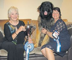 Irish Pup of the Year: 'Otso' takes the Oscar at POTY 2016 - Reports by Joyce Crawford-Manton - Photos by Irish Canine Press #dogs #dogshows #dogshowing #Leonberger