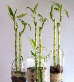 Como cuidar de um bambu. Decorar os ambientes de sua casa com plantas interiores e simples é cada vez mais comum. Por isso, o bambu é uma das plantas que mais aceitação está tendo na decoração dos lares com linhas minimalista...
