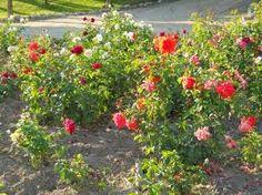 rosales - Buscar con Google
