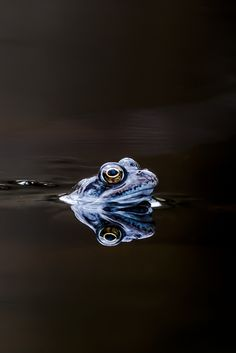 """ l-eth-e: as blue as a moor frog (by Nancy Carels)"""