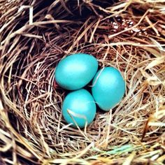 Robin Eggs, its time for Spring. Photo By: Stephanie McBee #stephyrella #eggs #spring stephyrella