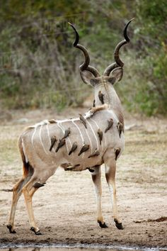 Greater kudu (Tregalaphus strepsiceros) covered in Yellowbilled oxpeckers (Buphagus africanus) rear view, Kruger National Park, South Africa. Interesting Animals, Unusual Animals, Most Beautiful Animals, Rare Animals, Wild Animals, African Antelope, Tier Fotos, African Animals, Cute Animal Pictures