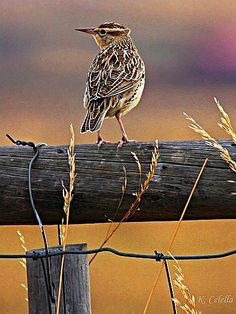 "Prairie Sparrow. ""For His eye is on the sparrow, and I know He cares for me!"""